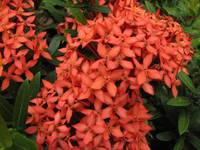 Ixora (Jungle Flame) Tropical Flower