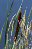 Cattail at Horicon Marsh