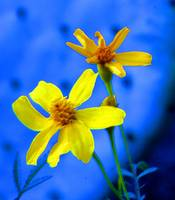 Yellow Flowers and Blue Cactus