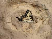 Swallowtail watering hole