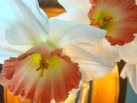 Narcissus Flowers Spring 5 Art Prints Decorative