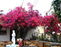skiathos 'under the bougainvilla'