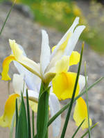 Irises Yellow IRIS FLOWERS Spring Garden Art