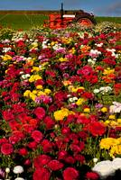Carlsbad Flower Fields (2)