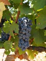 Grapes at Winery