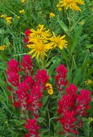 Indian Paintbrush 7