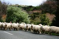Watch out for Sheep in the Road