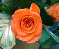 Close up of a peach colored rose