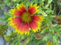 A beautiful Blanket Flower