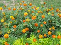 A bed of beautiful yellow and orange marigolds