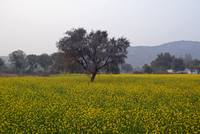 A field of mustard with a tree and mountains in th