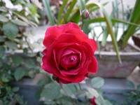 Beautiful red rose in a small garden