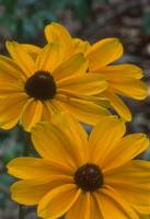 Yellow Coreopsis 2