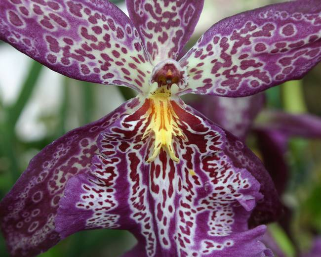 916800238724 Purple Tiger Orchid Flower by Kari Gunter-Kremers