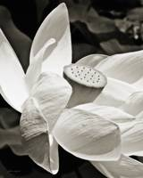 Lotus Flower (Black and White)