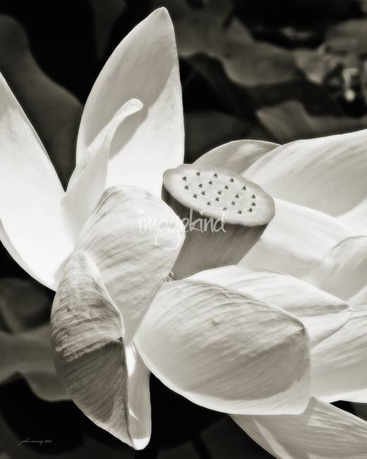 Lotus Flower Black And White By John Corney