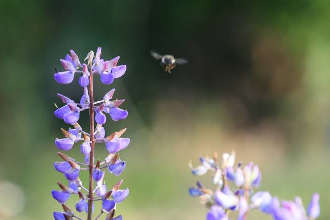 Bumble Bee on Lupine