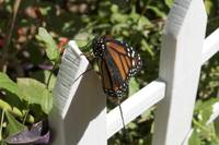 Monarch Butterfly Admiring its White Picket Fence