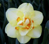 Fancy Double Ruffled Daffodil 2