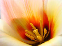 Tulips 31 TULIP FLOWER Macro Spring Nature Art