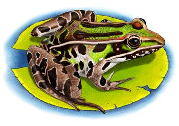 Southern Leopard Frog by artist Roger Hall. Giclee prints, art prints, animal art, frog art, Rana sphenocephala; from an original pen and ink drawing