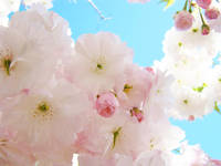 BLOSSOMS Spring 56 Pink Blossoms Flowers Artwork