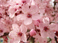 PINK BLOSSOMS Spring 63 Tree Blossom Flowers Art