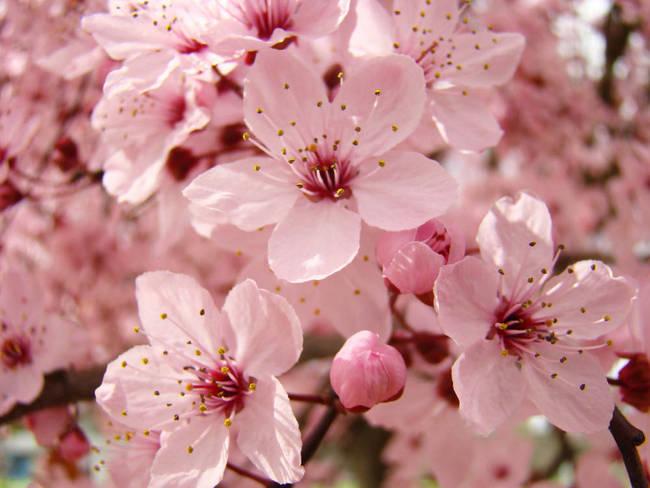 Pink blossoms spring 63 tree blossom flowers art by baslee troutman pink blossoms spring 63 tree blossom flowers art by baslee troutman fine art prints mightylinksfo