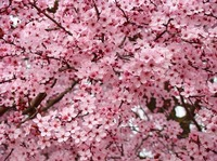 TREE BLOSSOMS Pink Spring Trees Flowers Artwork