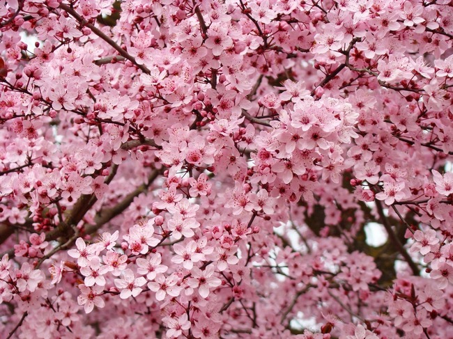 Tree blossoms pink spring trees flowers artwork by baslee troutman tree blossoms pink spring trees flowers artwork mightylinksfo