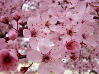 BLOSSOMS Pink Tree Blossoms 62 Spring Flowers Art