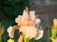 IRIS FLOWER PEACH Irises 16 Orange Bearded Iris