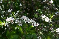 Leptospermum scoparium (Manuka Tea tree)