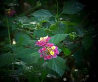 Lantana and Berries