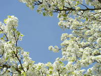 WHITE BLOSSOMS 28 Tree Blossoms Spring Flowers Art