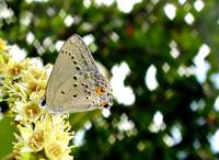 Mallow Scrub Hairstreak (Strymon istapa)