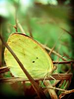 False Barred Sulphur Butterfly - Eurema elathea