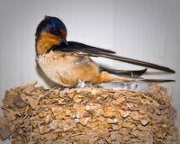 Barn Swallow on Nest