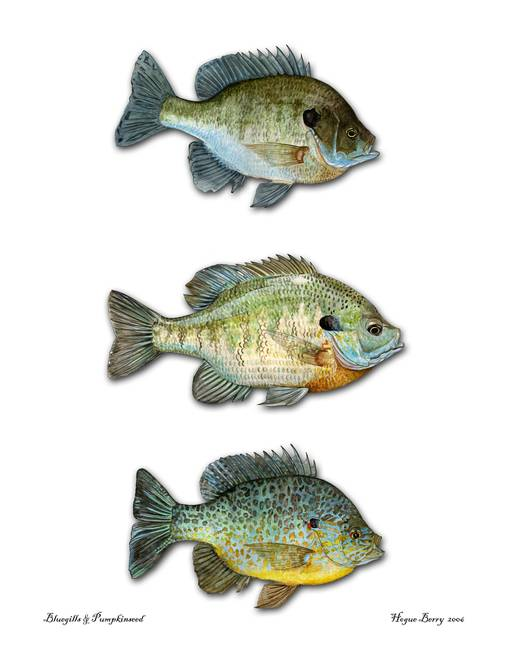three sunfish by hogueberryart 2006