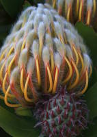 Protea in Golden Gate Park by Carol Groenen