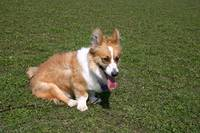 Sitting Cardigan Welsh Corgi