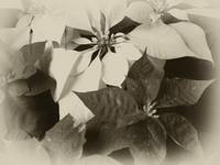 Antiqued Mixed Color Poinsettias 2
