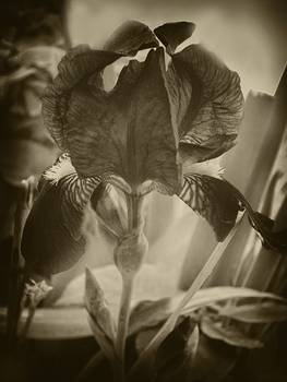 Antiqued Purple Iris 1