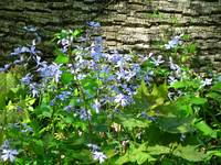 Blue Phlox Against Log