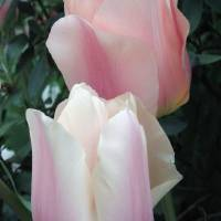 Sweet, Soft Tulips by Patricia Schnepf