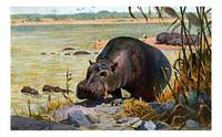 The hippopotamus amphibius, or hippo