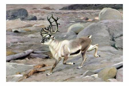 The reindeer (Rangifer tarandus) by markkumurto