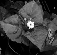 Bourgainvillea in Black and White l