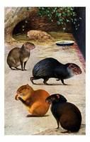 four variations of Agouti