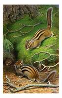 Cute Siberian Chipmunks